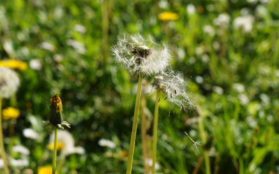 Facts About Ragweed Pollen